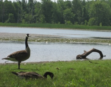 Canadian Geese at Mondon Ponds Park