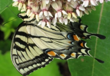Underside of swallowtail wing