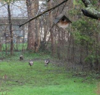 turkeys in the backyard2
